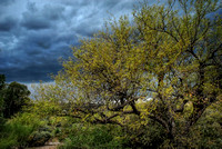 Ironwood and Storm Clouds